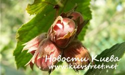 Лесные орешки для Золушки