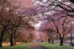 В парке Киото высадят самую длинную в мире аллею сакур
