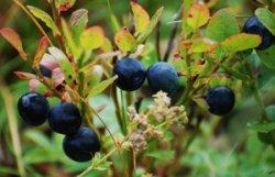 Черника - это многолетний низкорослый кустарник