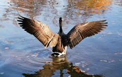 Весна – сезон охоты на гуся