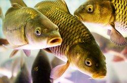 Рыбалка в Украине: «охота» на карпа