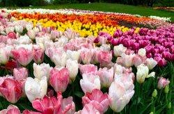 В Киеве открылась огромная выставка тюльпанов